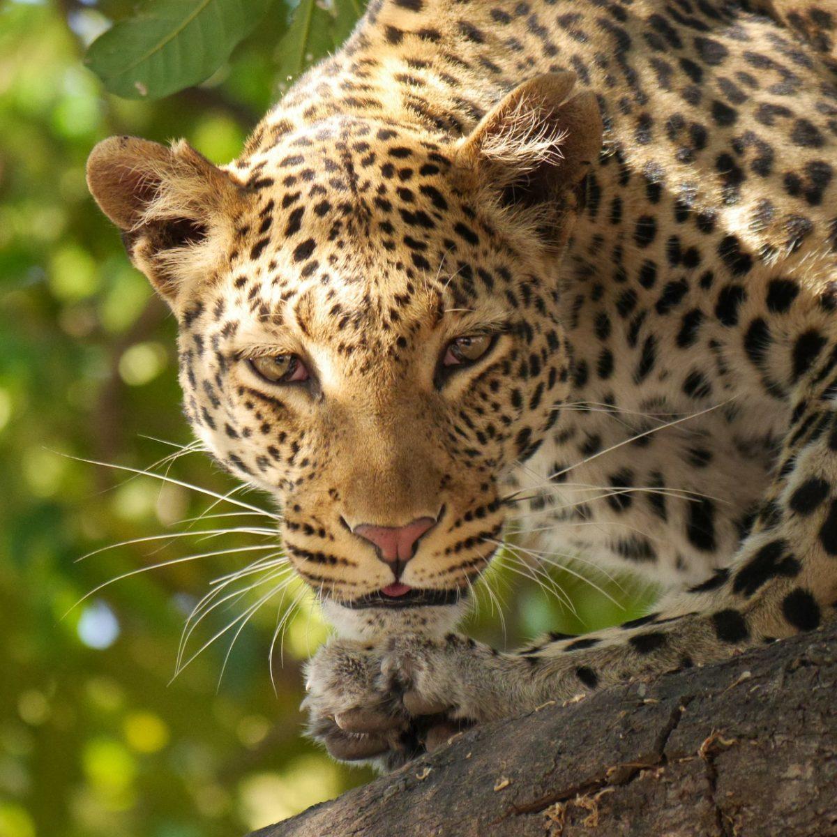 На Земле леопардов